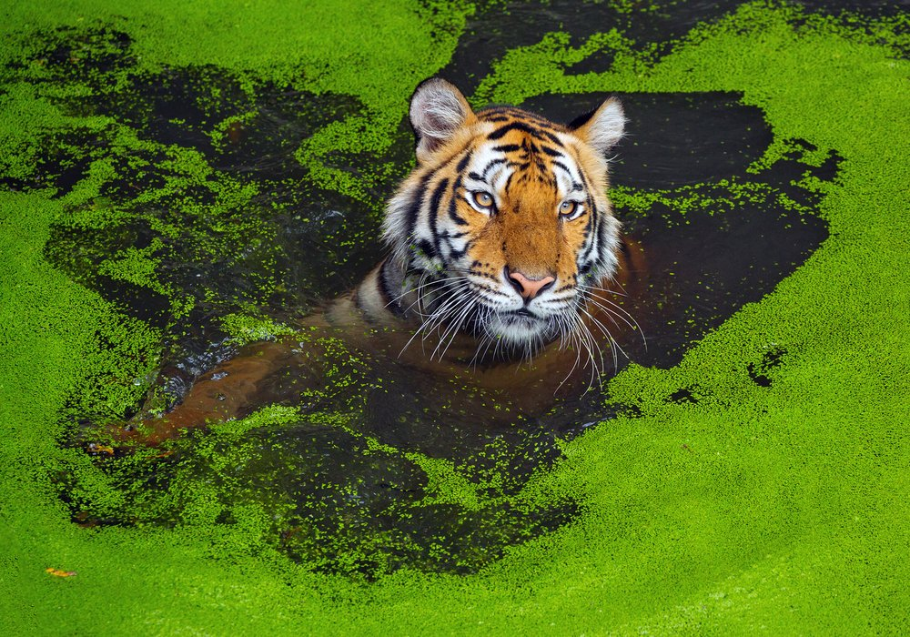 The tiger Asia. - Image(jeep2499)s