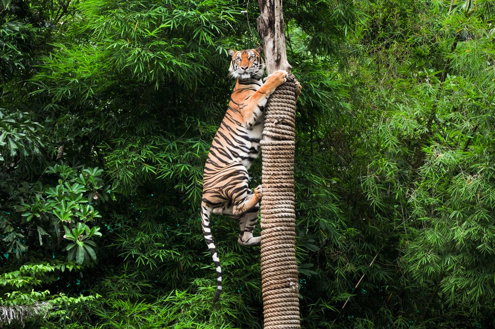 Tiger climbing on pole - Image( Duke.of.arcH)s