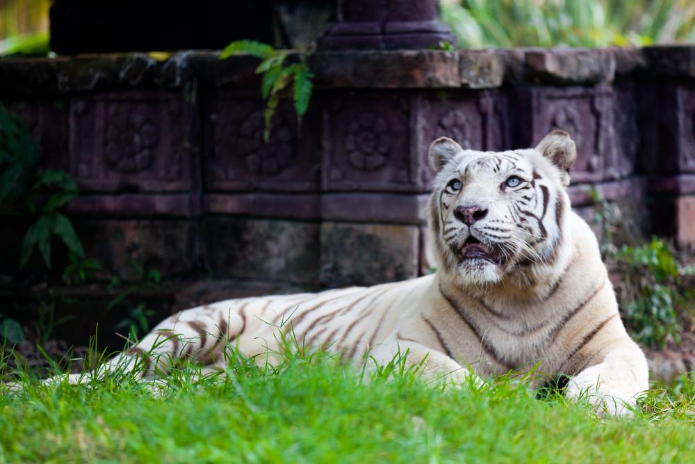 White Royal Bengal Tiger - Image(Quinn Martin)s