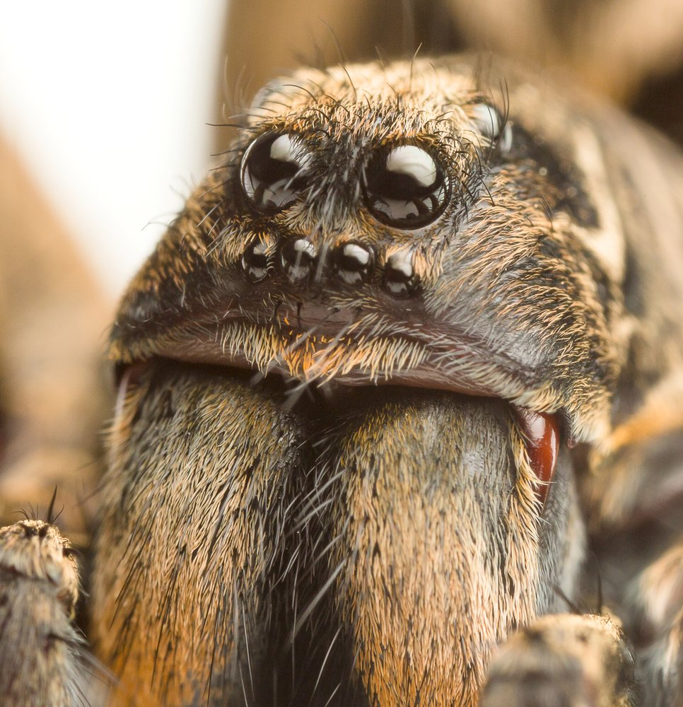 an extreme closeup of a wolf spider - Image( Paul Looyen)S