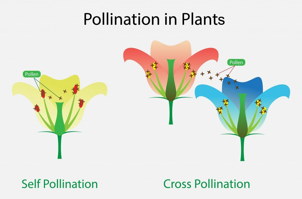 illustration of Biology, Pollination in Plant - Vector(Nasky)s