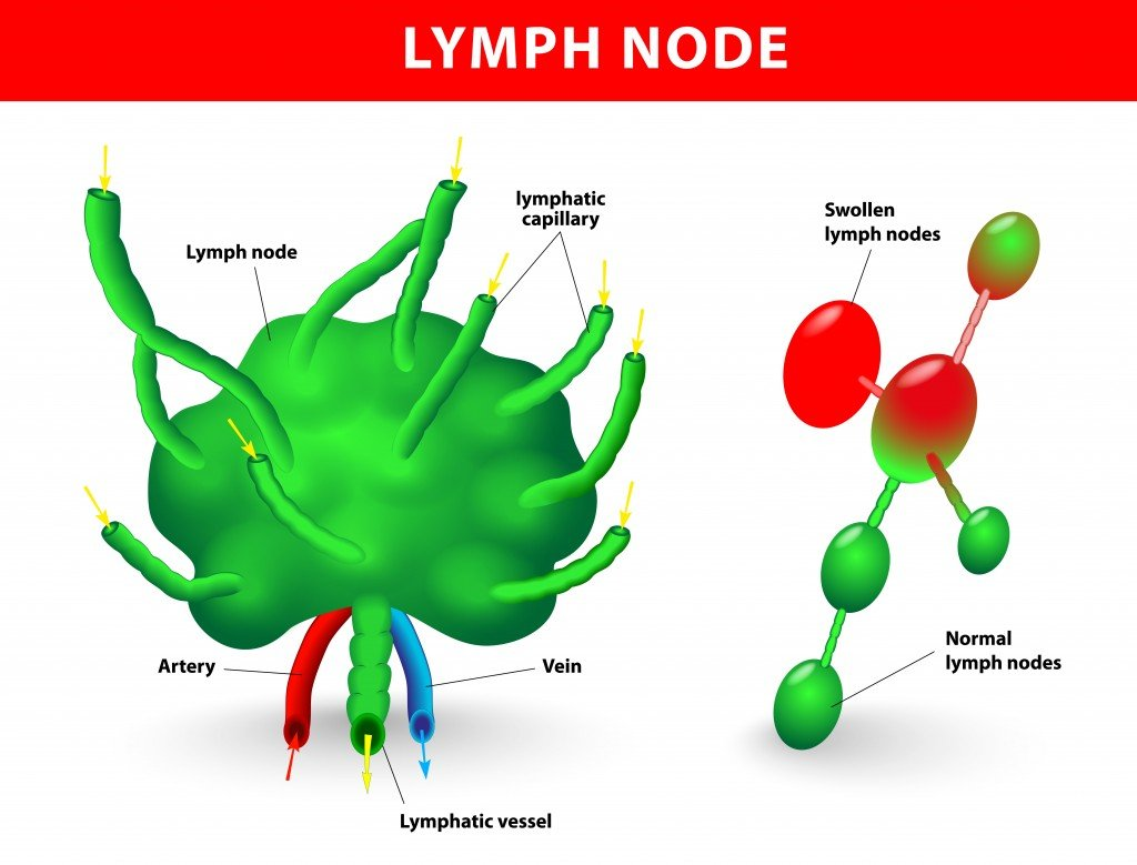 lymph node, lymph gland. Schematic diagram of lymph node showing the flow of lymph(Designua)s