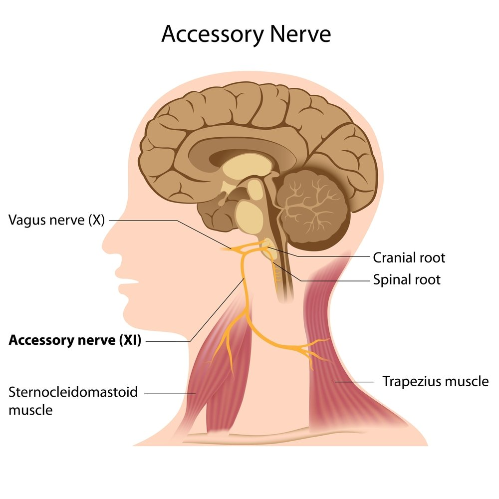 Accessory nerve - Illustration( Alila Medical Media)S