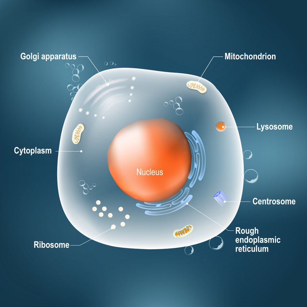 Anatomy of cell. All organelles Nucleus(Designua)s