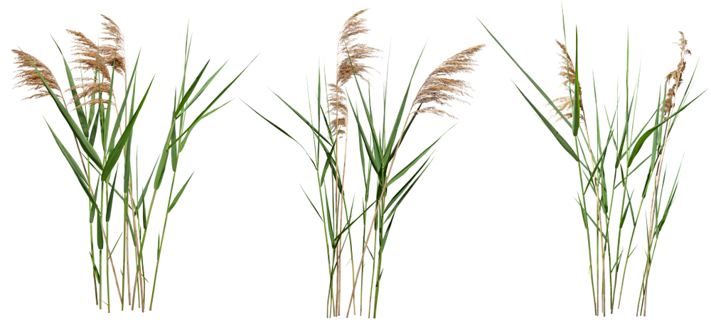 Cattail and reed plant isolated on white background. Wild grass - Image(Artiste2d3d)s