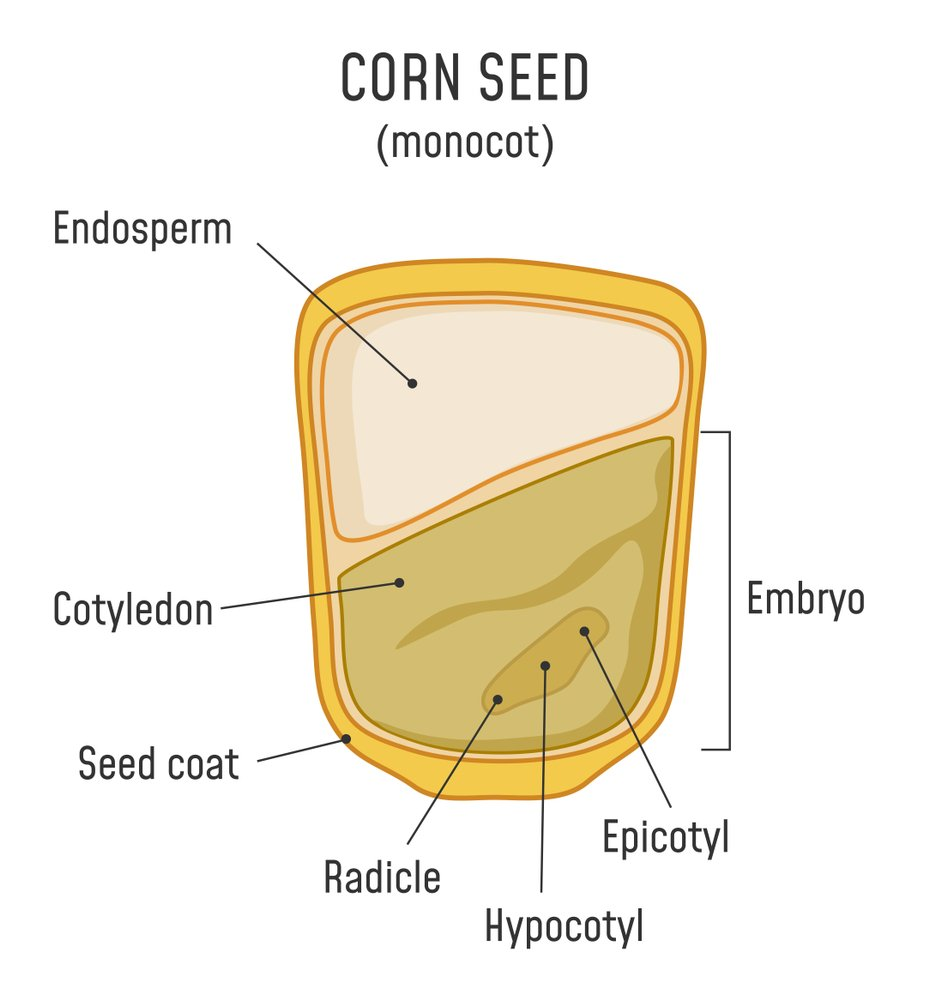 Corn Seed Structure. Anatomy of grain. Monocot seed diagram. - Illustration( Fancy Tapis)s