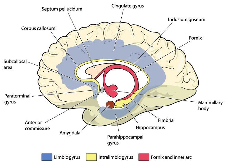 Cross section through the brain showing the limbic system and all related structures(Blamb)s