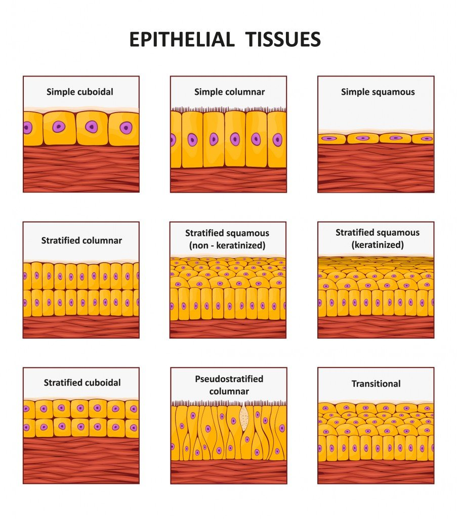 Different types of epithelial tissue collection. - Vector(logika600)s