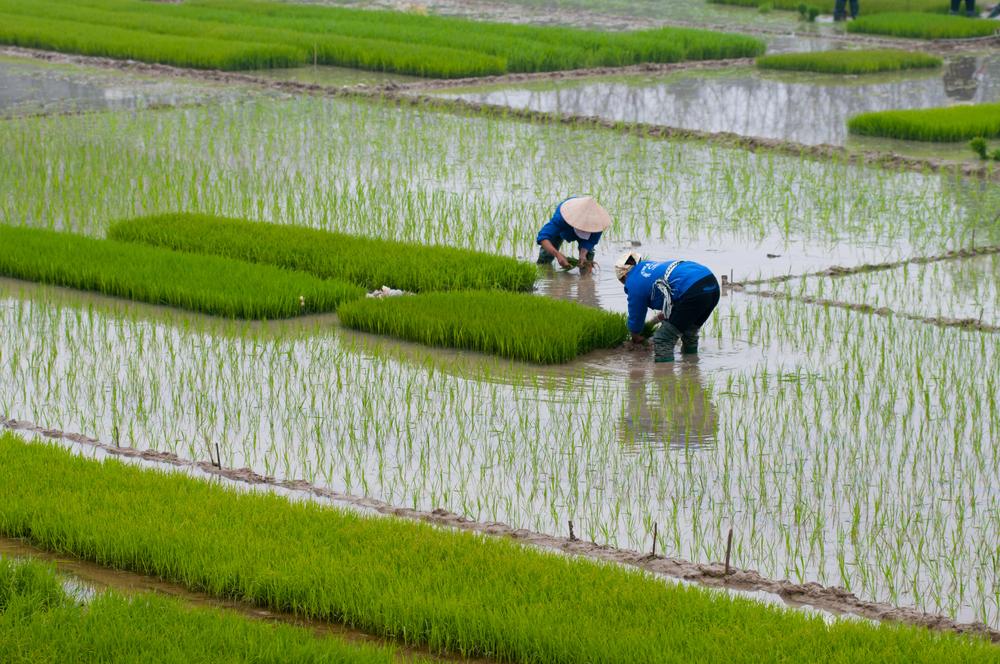 Farmers transplant rice in a field in Vietnam - Image( Jimmy Tran)s