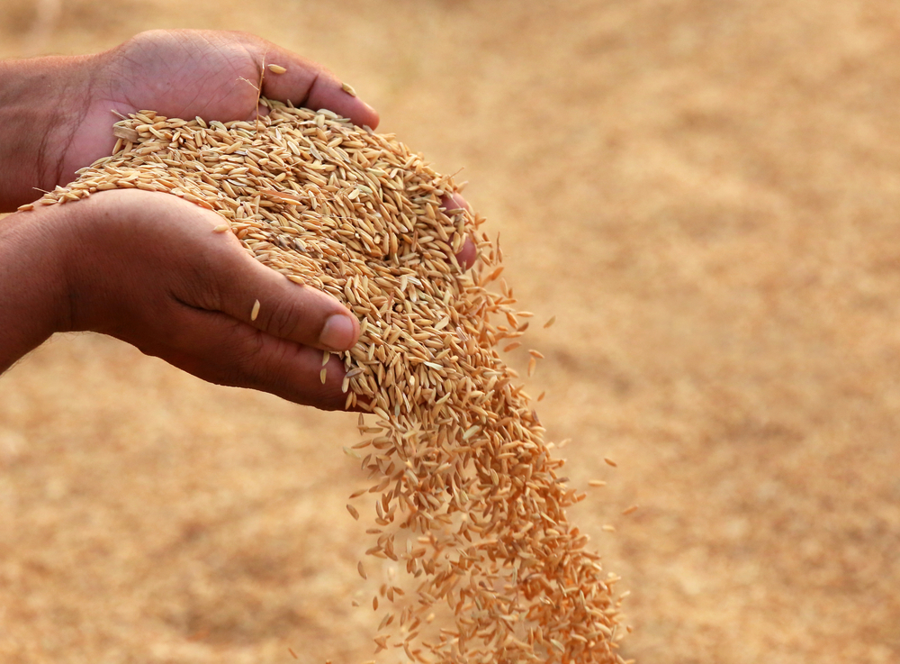 Hand holding golden paddy seeds in Indian subcontinent - Image( Swapan Photography)S