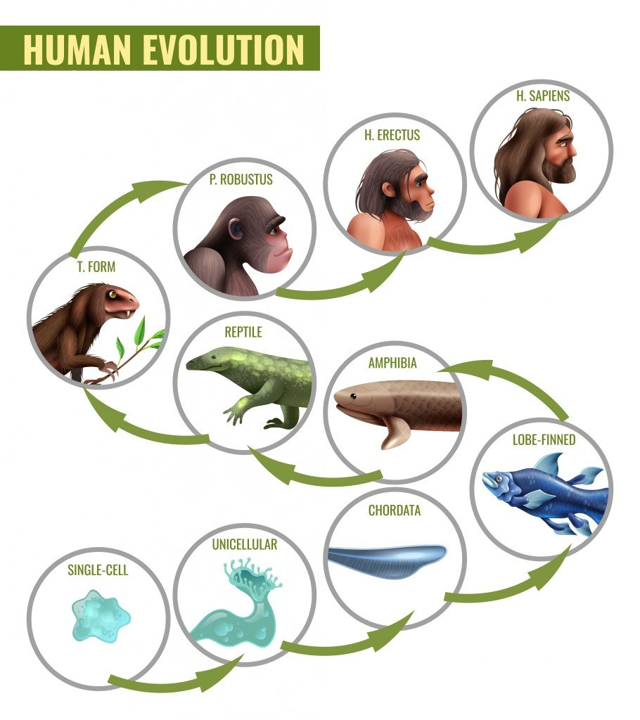 Human evolution infographics with development stages from single cell to homo sapiens(Macrovector)S