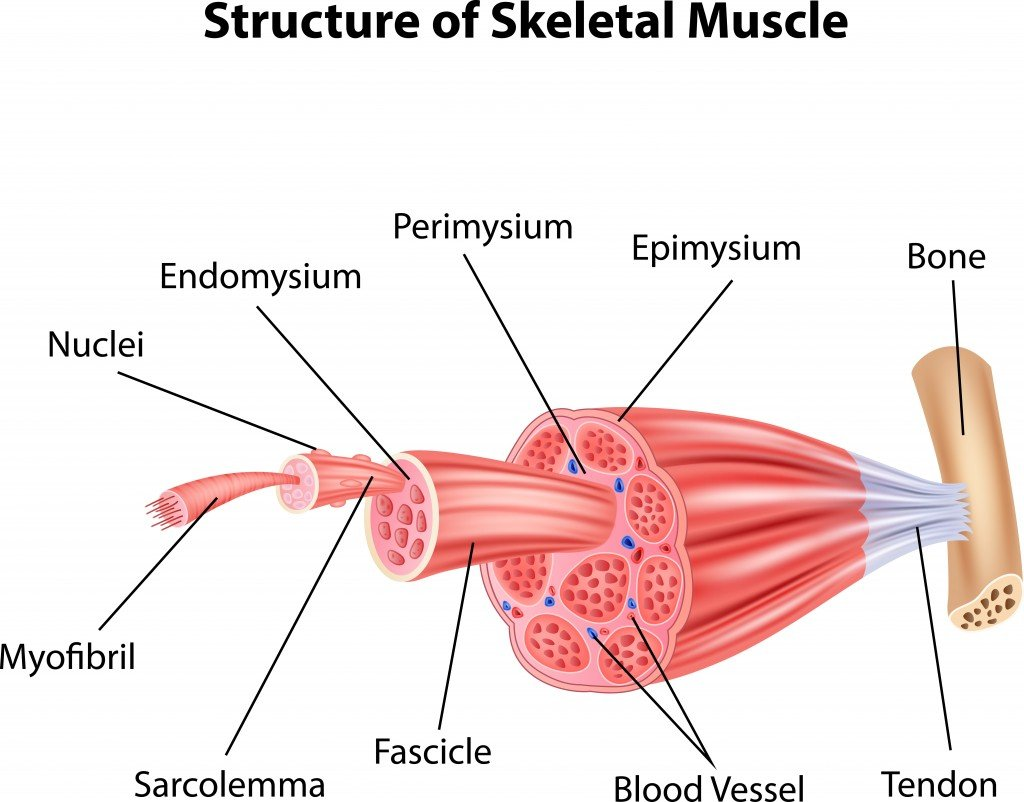 Illustration of Structure Skeletal Muscle Anatomy - Vector(Teguh Mujiono)s