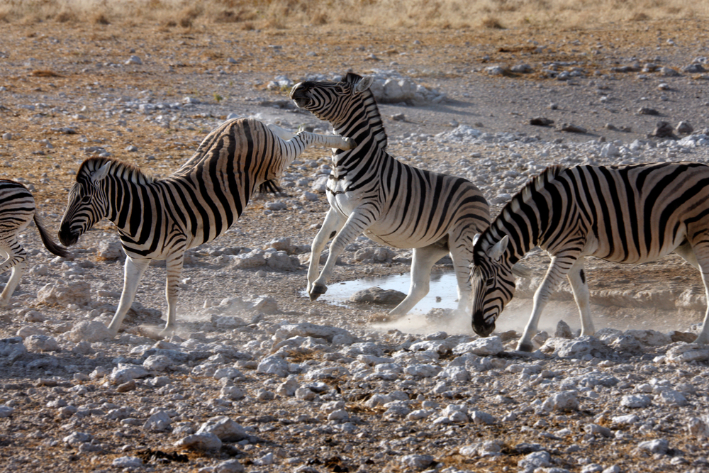 Kicking Zebra (Equus quagga) near a waterhole in Etosha National Park in Namibia - Image( Steve Allen)s