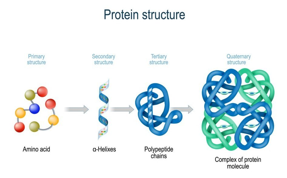 Levels of protein structure from amino acids to Complex of protein molecule(Designua)s