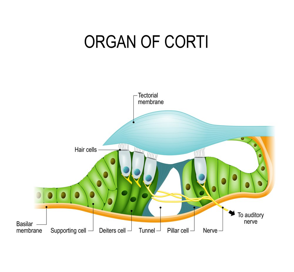 Organ of Corti is the receptor organ for hearing, a neuron located in the cochlea of the inner ear(Designua)s