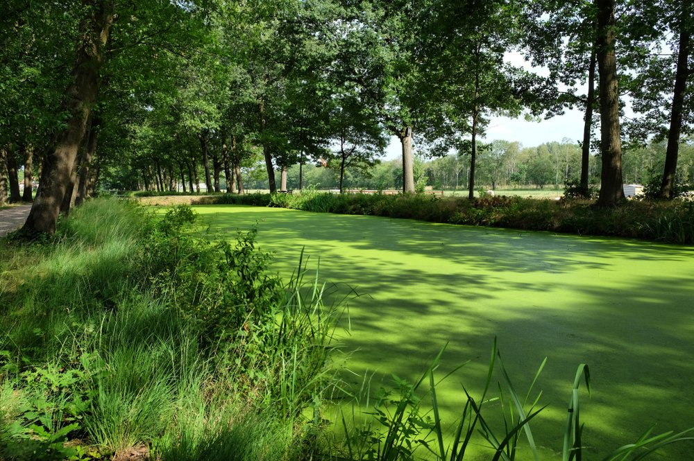 Pond weed eutrophication covering a canal in the Netherlands - Image( Alexandra Glen)s