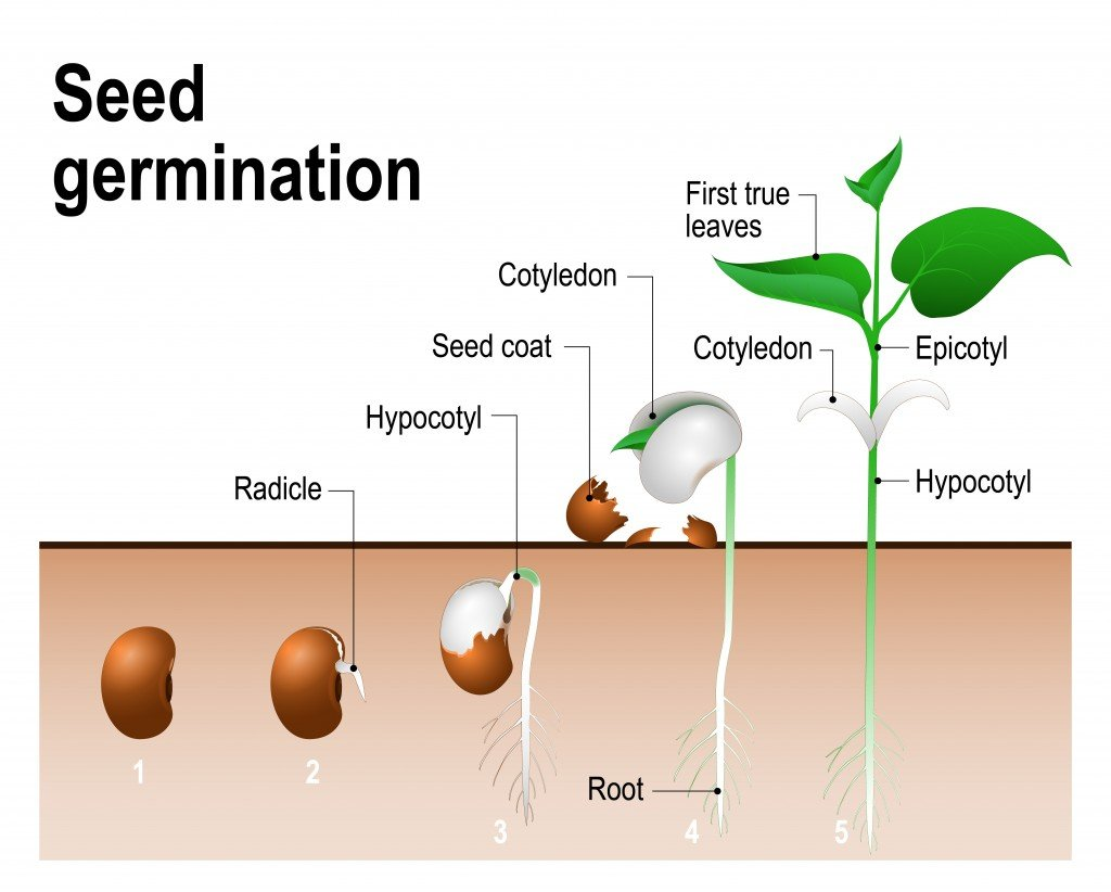 Seed germination. - Vector(Designua)s