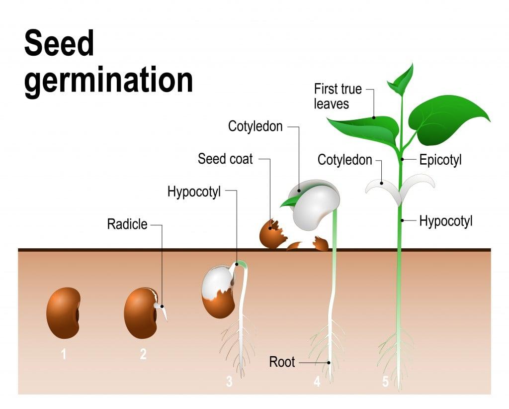 Seed germination. - Vector(Designua)s