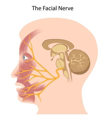 The facial nerve - Vector( Alila Medical Media)s