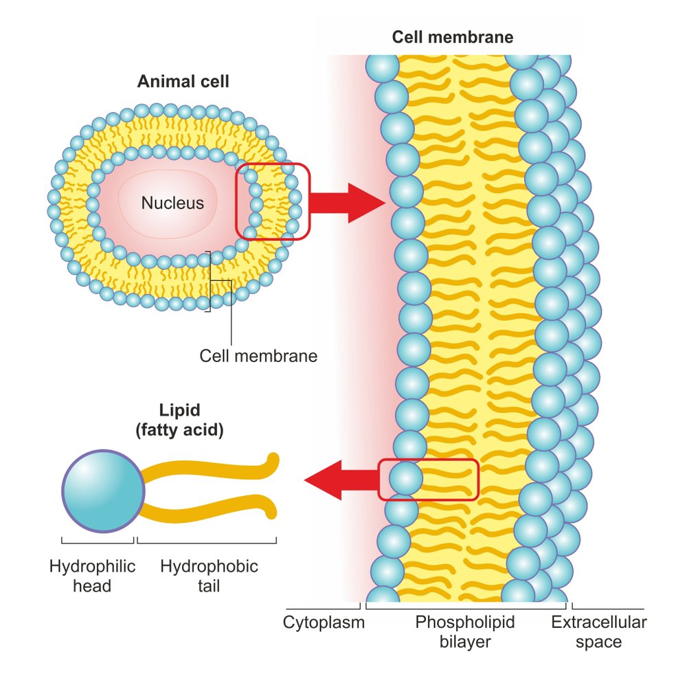 The phospholipid bilayer of an animal cell is a thin membrane made of two layers of lipid molecules( Soleil Nordic)s