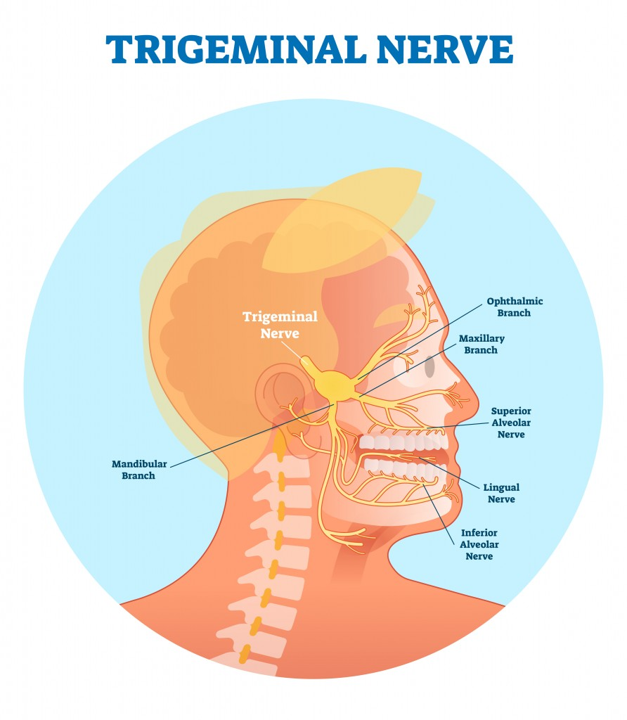 Trigeminal nerve anatomical vector illustration diagram with human head cross section(VectorMine)s