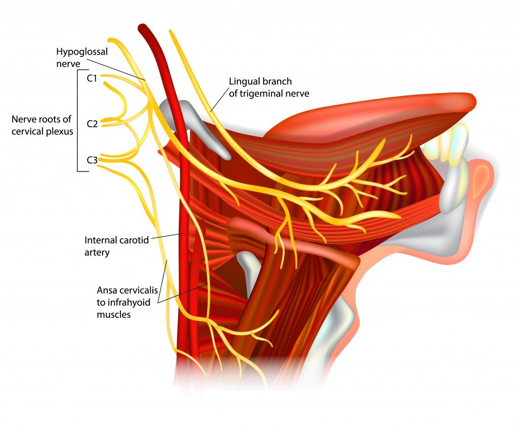 hypoglossal nerve. Ansa hypoglossi and muscles supplied by the hypoglossal nerve. - Vector(Sakurra)S