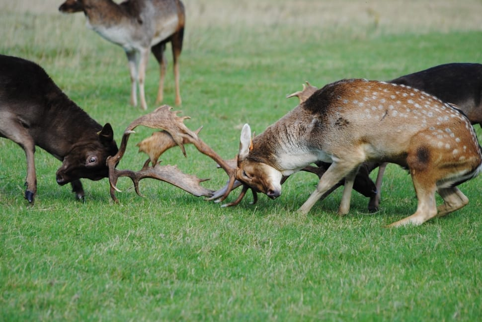two brown bucks fighting on grass land