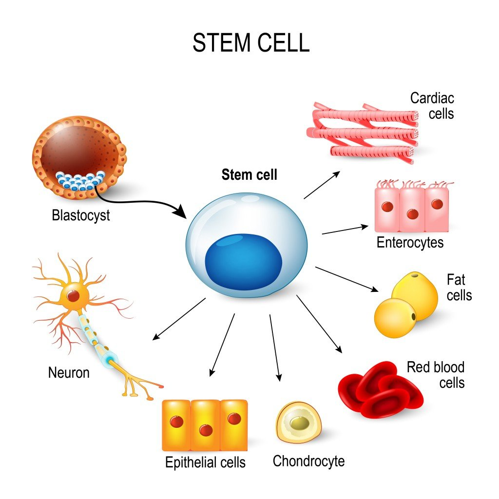 stem cells. These inner cell mass from a blastocyst. These stem cells can become any tissue in the body(Designua)S