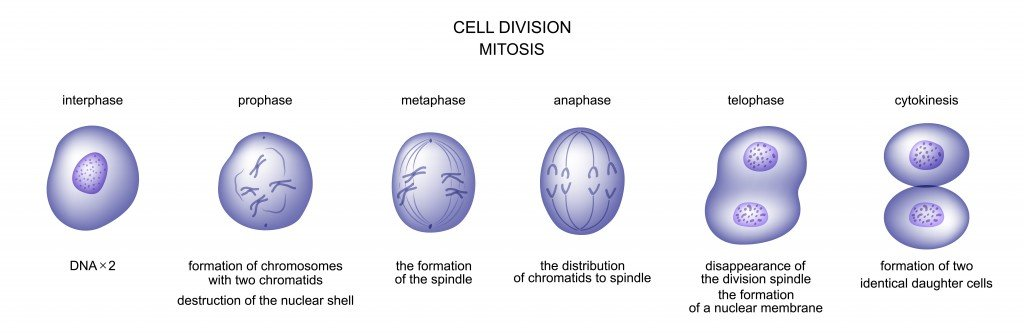 vector illustration of cell division. mitosis. biology - Vector(Artemida-psy)s