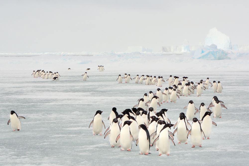 Annual migration of penguin in South Orkney Islands( Ivan Hoermann)s - Copy