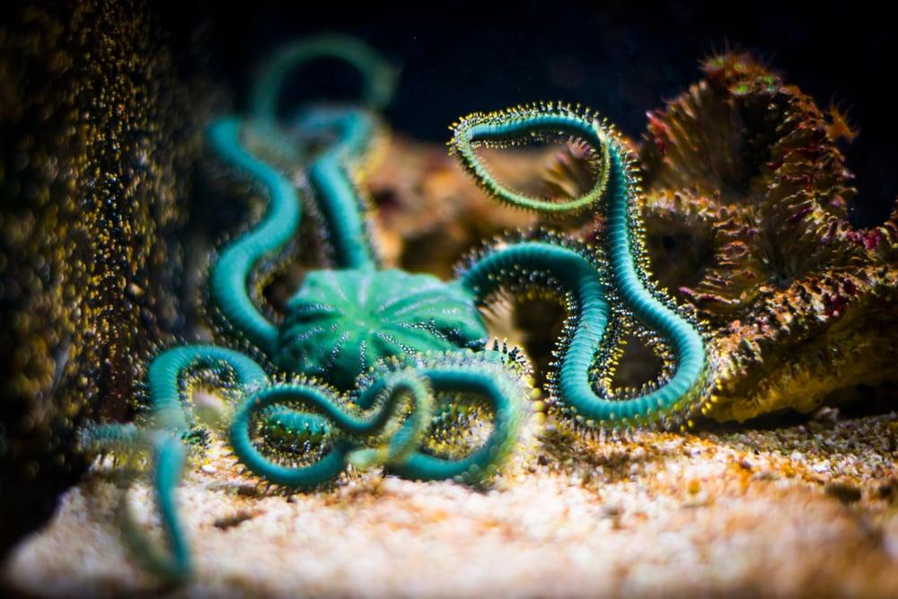 Brittle star in aquarium (Ophiuroidea)(ewaplesna)s