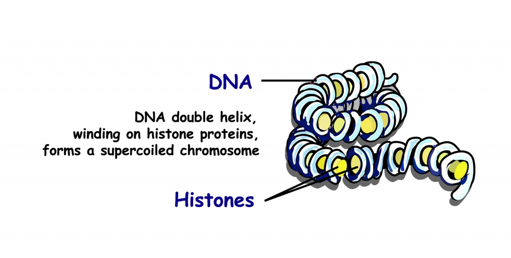Double helix of DNA spilling onto histone proteins forms a superspread chromosome(Zvitaliy)s