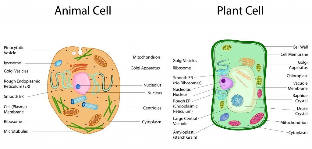 Education Chart of Biology for Animal and Plant Cell Diagram(Vecton)s