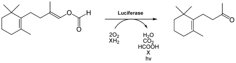 The Luciferase reaction.