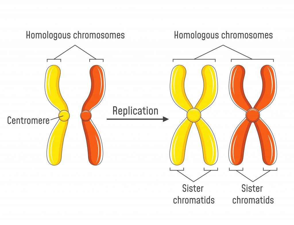 Pair of homologous chromosomes and chromatids( Fancy Tapis)s