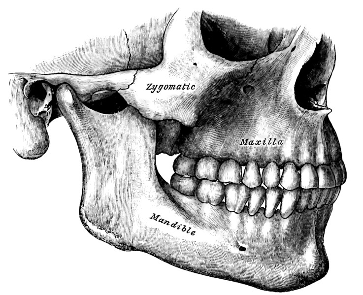 Side view of the teeth and jaws.