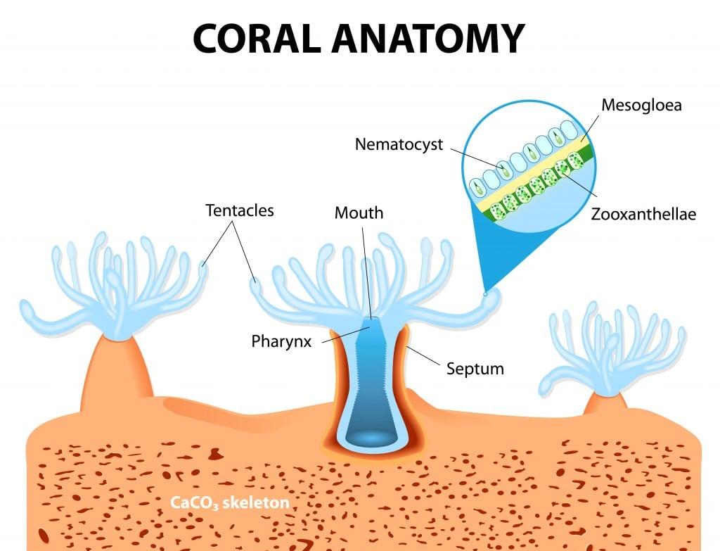 Structure coral polyp. Coral Anatomy(Designua)s
