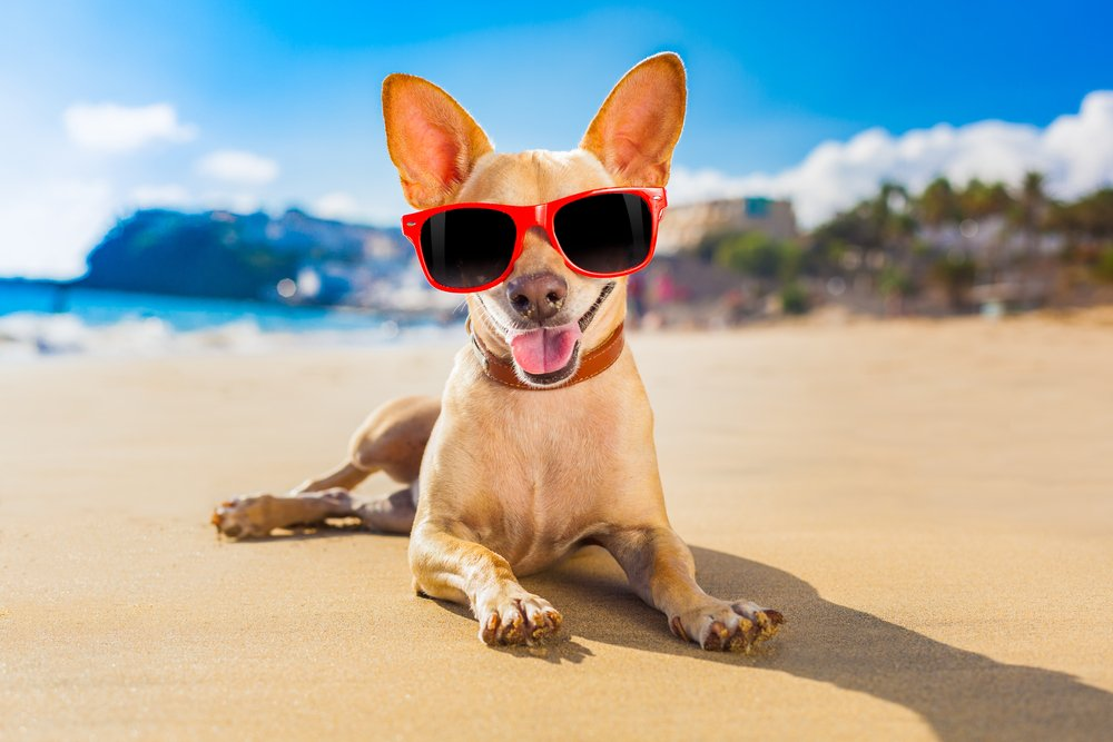 chihuahua dog at the ocean shore beach wearing red funny sunglasses and smiling( Javier Brosch)s