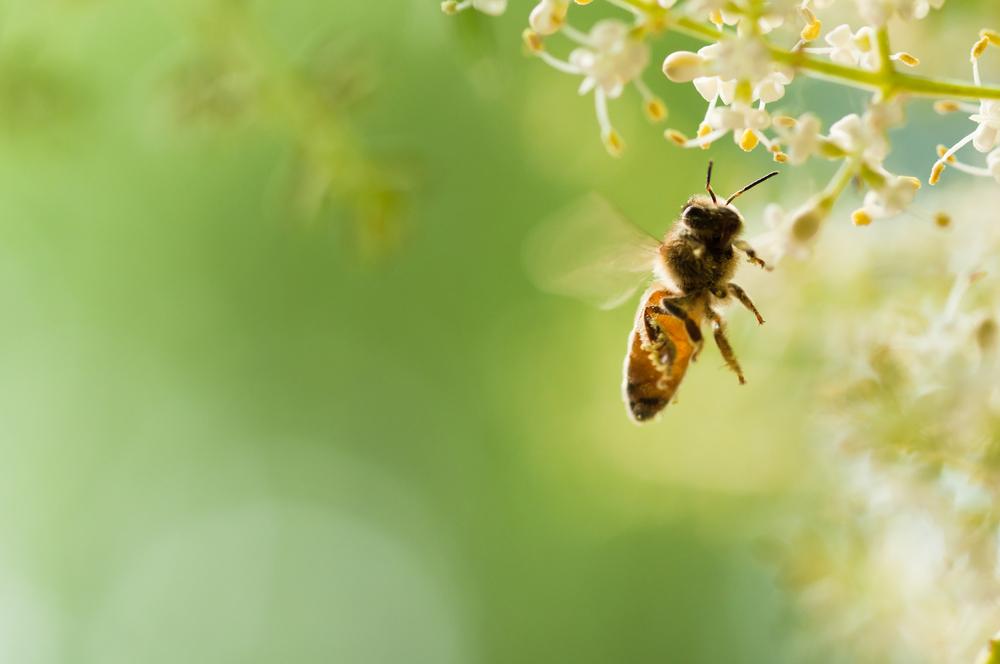 flying honey bee( Feng Lu)s