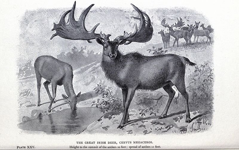 great Irish deer