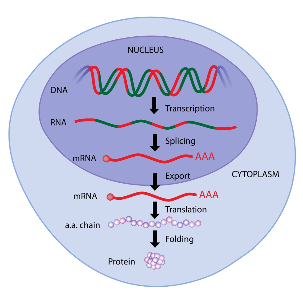steps of gene expression(Alila Medical Media)s