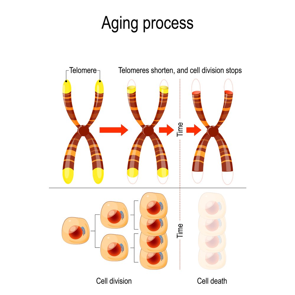 telomeres, What Is The Relationship Between Telomeres And Aging?, Science ABC, Science ABC