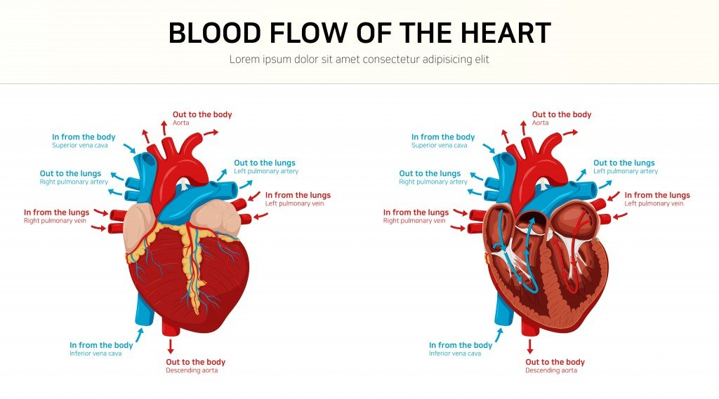 Blood flow of the heart(cono0430)S
