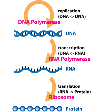 Central Dogma of Molecular Biochemistry with Enzymes