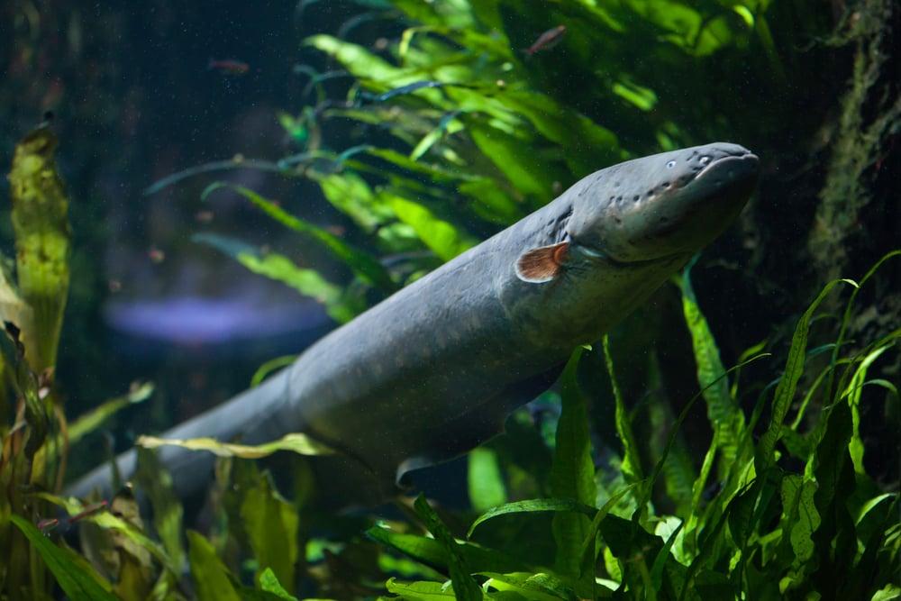 Electric eel (Electrophorus electricus). Freshwater fish( Vladimir Wrangel)s