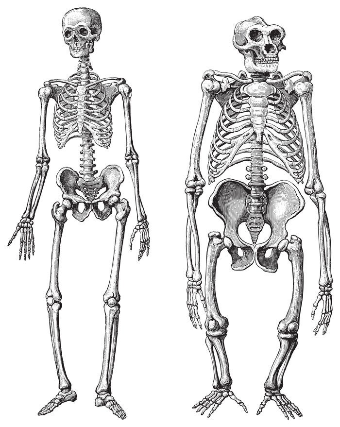 Human (left) and Gorilla (right) skeleton( Hein Nouwens)S