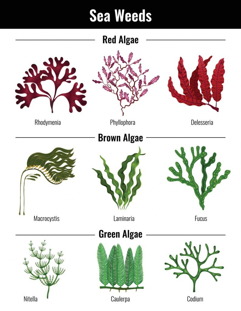 Red brown green algae seaweeds collection(Macrovector)s