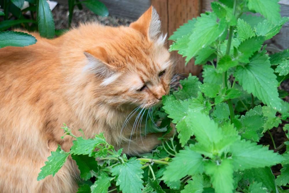 Tabby cat savoring catnip (Nepeta Cataria) in the garden(yusia)s