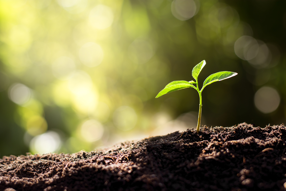 The seedling are growing from the rich soil(kram9)s