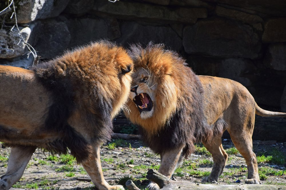 Two male African lions play, fight and roar in zoo( Breaking The Walls)s